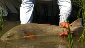 redfish-release.jpg